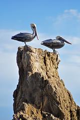 El Matador State Beach (Anosmia) Tags: malibu california elmatadorstatebeach pelicans seabirds