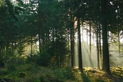 Morgendunst im Wald (izoll) Tags: izoll sony alpha77ii wald waldaufnahmen natur sonnenstrahlen lichtundschatten lichtstrahl naturaufnahmen bume