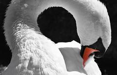 The swan (Lala89_Photos) Tags: swan schwan swans schwne vogel wasservogel bird birds vgel weis white animal tier closeup portrait proud pride stolz