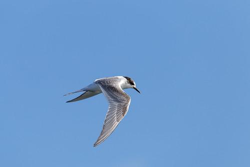 Arctic tern @Amrum