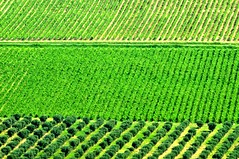 Trame rurali (luporosso) Tags: natura nature naturaleza naturalmente nikond300s nikon campagna campi vigna wine vineyard vino countryside collina hills marche italia italy geometrie geometry