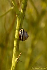 De Nieuwe Wildernis (Shahrazad26) Tags: oostvaardersplassen slak snail escargot almere nederland thenetherlands holland paysbas