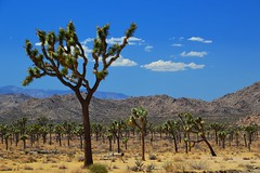 Joshua Tree National Park (Six Sigma Man (Thanks for the 2.1 Million views)) Tags: joshuatreenationalpark joshuatree california desert nikon
