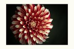 Spinning (Krasne oci) Tags: flower dahlia detail macro closeup garden photographicart evabartos multicolored artphotography canon flickr onblack artphoto canon5dmarkiii beautifulflowers beautifulphotos