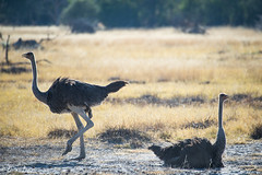 Chitabe-21 (Photography by Brian Lauer) Tags: wild dog dogs wildlife wilderness nikon nikonphotography explore more elephant elephants saddlebilledstork lions lion landscape african zebra lilacbreastedroller chitabe lediba wearewilderness safaris botswana