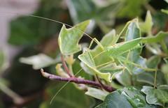 Drumming Katydid (non-native_ (corey.raimond) Tags: tettigoniidae drummingkatydid katydid antenna antennae insect washington seattle westernwashington green greeninsect orthoptera