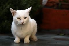 Cats of Pilion (lorenzog.) Tags: catsofpilion 2016 cat cateyes whitecat agiosioannis aghiosioannis pilion pelion greece catsofgreece nikon d300 ilobsterit