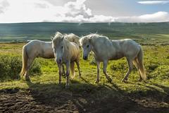 Icelandic horses (Anna.Andres) Tags: icelandichorses iceland sland slenskihesturinn horses hestar hestafer horsetrip norurland annagumundsdttir canoneosrebelt2i whitehorses white
