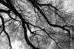 The arteries of life (G. Cordeiro) Tags: tree deciduous trunks branches blackwhite sepia