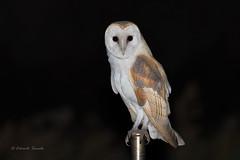 Tyto alba ernesti (Edoardo Simula) Tags: tytoalba tytoalbaernesti barbagianni barnowl sardinia sardegna raptorsofsardinia raptors owl