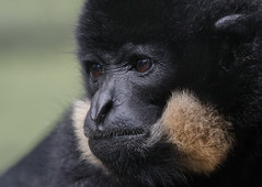 Golden cheeked Gibbon (ToriAndrewsPhotography) Tags: golden cheeked gibbon primate monkey andrews tori photography