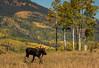 Moose in Autumn (Happy Photographer) Tags: moose nature wildlife bull autumn fall uncompahgre national forest amyhudechek nikon200500f56