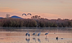 Evening at the Bosque (San Francisco Gal) Tags: sunset reflection bird nature water field landscape evening flying duck sundown crane wildlife sandhill bosquedelapache flooded nationalwildlifepreserve spiritofphotography coth5 mygearandme mygearandmepremium mygearandmebronze mygearandmesilver mygearandmegold mygearandmeplatinum mygearandmediamond vigilantphotographersunite vpu2 vpu3 vpu4 vpu5 vpu6 vpu7 vpu8 vpu9 vpu10