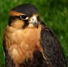 """""""Rio"""" (Galeyo) Tags: falcons me2youphotographylevel1 freedomtosoarlevel1birdphotosonly"""