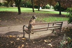 After three hours waiting, Mr Biscuits began to suspect his blind date had stood him up. Again. (deepstoat) Tags: park autumn dog colour london film zeiss 35mm bench contaxt3 lurcher fujiproh400 thelittledoglaughed iseemtohavebecomeaphotographerofanimalsrecently