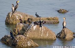 Commen Cormorant, Great Cormornat and Fresh Water Turtles basking in the sun (asheshr) Tags: india water river nikon turtle great fresh cormorant cuttack commen mahanadi odisha d5100