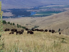 Buffalo Herd, National Bison Reserve, Moiese, Montana (teresue) Tags: buffalo montana mt bison nationalbisonrange 2012 nationalbisonreserve