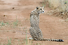 """Cheetah in Namibia • <a style=""""font-size:0.8em;"""" href=""""https://www.flickr.com/photos/21540187@N07/8291685367/"""" target=""""_blank"""">View on Flickr</a>"""