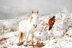 white on white (.:: Maya ::.) Tags: winter horse white mountain snow bulgaria mustang mayaeye mayakarkalicheva маякъркаличева