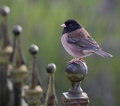 Dark-eyed Junco (janruss) Tags: bird russell junco ngc explore janine avian darkeyedjunco photomix janruss