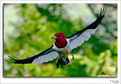 Lady in Red                              (Red-headed Woodpecker ) (mynewpicture) Tags: bird woodpecker kentucky celebrities ladyinred redheadedwoodpecker mygearandme mygearandmepremium mygearandmebronze mygearandmesilver mygearandmegold mygearandmeplatinum mygearandmediamond photographyforrecreation klausficker celebritiesofphotographyforrecreation celebritiesphotographyforrecreation