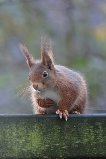 Eichhörnchen, NGIDn1811632810