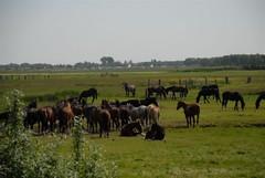 Paarden op de Burd