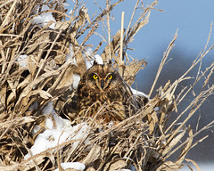 Short-eared Owl (mattlev12) Tags: