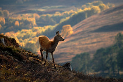 Red deer calf (Gavin Macrae) Tags: autumn nature mammal scotland nikon wildlife deer fawn backlit calf reddeer 2012 rut cervuselaphus scottishwildlife scottishmountains highlandsofscotland scottishhills strathglass reddeercalf