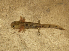 Salamandra salamandra (ewoudploeg) Tags: amphibian salamander salamandra amfibie vuursalamander amfibieen