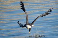 American Bald Eagle Fishing [2441] (cl.lin) Tags: fish bird birds river mississippi fishing nikon midwest eagle lock dam wildlife 14 birding flight bald sigma iowa american mississippiriver birdsinflight eagles americanbaldeagle birdinflight d600 leclaire lockanddam14 ld14