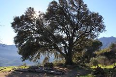 oaktree near Paüls (Marlis1) Tags: tree catalunya oaktree eiche quercusilex steineiche alzina carrasca paüls marlis1 buchengewächse canoneos1000d
