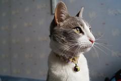 Ana (Matas Waldemar) Tags: cat gata whitecat