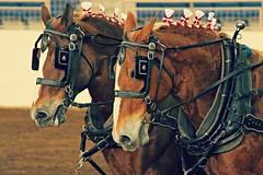 team (Jen MacNeill) Tags: show horses horse animals driving power pennsylvania farm pair arena pa belgian harness livestock pulling harrisburg draft workhorse 2013 gypsymarestudios canont3i jennifermacneilltraylor jmacneilltraylor