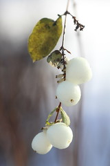Snowberries (Books&Pictures) Tags: schnee winter light snow december beere weis lichtblick