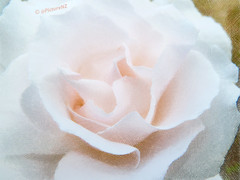 A Tinted Rose (Steve Taylor (Photography)) Tags: pink white flower art rose landscape spring centre center crosshatch