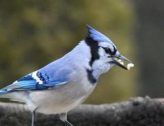 Mouthful of Nuts (KoolPix) Tags: bird nature animal beak feathers bluejay mouthful naturephotography naturephotos naturephotographer colorfulbird koolpix mouthfulofnuts photocontesttnc12 jaydiaz jaydiaznaturephotographer