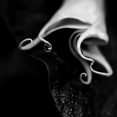 Tear Catcher (AnyMotion) Tags: travel flowers blackandwhite bw macro floral garden petals reisen southeastasia blossom burma ngc blumen npc refraction droplet sw myanmar makro blte garten birma bltenbltter tropfen brugmansia birmanie kalaw angelstrumpet engelstrompete makroaufnahmen anymotion 2013 amararesort hmbt