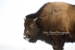 Bison calf (Deby Dixon) Tags: winter snow nature cows wildlife bull yellowstonenationalpark yellowstone wyoming bison calves debydixonphotography