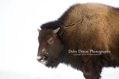 Bison calf (Deby Dixon) Tags: winter snow nature cows wildlife bull yellowstonenationalpark yellowstone wyoming bison calves debydixonphotography