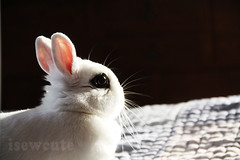 brown eyed girl pretty white rabbit photo of yuki the magic bunny by isewcute (isewcute) Tags: winter ohio cute bunny bigeyes jumping conejo yuki lapin houserabbit whiterabbit dwarfbunny jumpingonthebed bunnyrabbit ourpet 2013 hotot isewcute