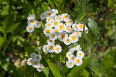 ckuchem-4040 (christine_kuchem) Tags: bauerngarten blüte blüten garten gartenstaude mutterkraut naturgarten privatgarten sommer sommerblumen staude stauden staudengarten ziergarten naturnah natürlich