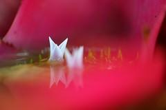 """ネオレゲリア/Neoregelia cv. (nobuflickr) Tags: flower nature japan botanical kyoto 日本 花 """"the garden"""" 温室 京都府立植物園 neoregeliacv awesomeblossoms ネオレゲリア パイナップル科ネオレゲリア属 20160702dsc03957"""