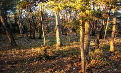 Mallefougasse, lomography, 5 (Patrick.Raymond (2M views)) Tags: haute provence 04 pinde coucher de soleil arbre bois foret lomograophy argentqiue nikon expressyourself