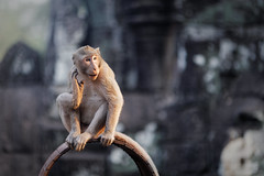 What did you say, again ? (Adrien Marc) Tags: monkey depthoffield dof bayon angkor cambodia