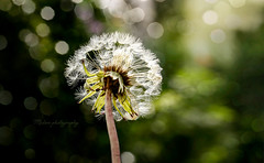 Dandelion (Kiss Midori) Tags: flower beautifullight dandelion nature beautiful green bokeh