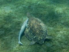 IMG_3716 (adrienweckel) Tags: adrienweckel cheloniamydas echeneisnaucrates poissons rémoracommun rémorarayé tortueverte