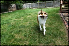 Jemma, Barking Whilst Barking, September 03, 2016 (Maggie Osterberg) Tags: fujifilm x20 maggieo lincoln nebraska dog roughcollie jemmasimmons colorefexpro4