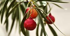 Quandong study 1 (krillmerma) Tags: quondong quandong fruit australia bush tucker arid desert red macro sony