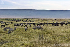 Gnu e Zebre, Wildebeests (Connochaetes taurinus) and Grant's Zebras (Equus quagga bohemi) (paolo.gislimberti) Tags: tanzania ngorongoro africanparks parchiafricani africanmammals mammiferiafricani herbivores erbivori ungulates ungulati antelopes antilopi animalisociali socialanimals animaliambientati animalsintheirenvironments savana savannah animalbehavior comportamentoanimale alimentazione feeding quotidianit everyday safarifotografico photographicsafari wilderness
